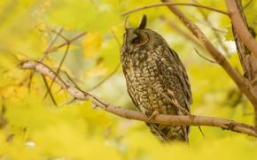 Картинка осень, взгляд, ветки, природа, поза, дерево, сова, птица, листва, боке, филин