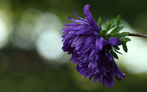 Картинка цветок, капли, астра, фиолетовая, боке