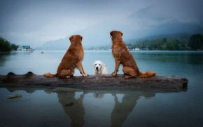 Обои собаки, небо, взгляд, пейзаж, горы, природа, поза, туман, озеро, отражение, дерево, берег, купание, три, бревно, ...