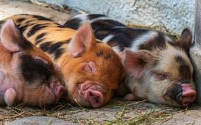Картинка свиньи, поросята, троица