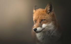 Картинка взгляд, морда, природа, поза, портрет, лиса, рыжая