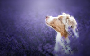 Картинка морда, цветы, фон, портрет, собака, профиль, лаванда, боке, Австралийская овчарка, Аусси