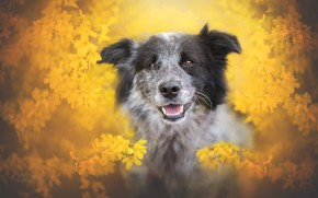 Обои язык, взгляд, морда, цветы, ветки, портрет, собака, размытие, весна, желтые, сад, серая, цветочки, цветение, желтый ...