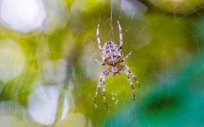 Картинка макро, зелень, паутина, лето, паучок, паук