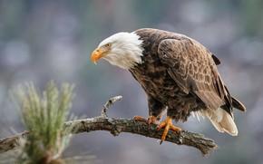 Картинка фон, птица, орел, ветка, сосна, сук, боке, белоголовый орлан