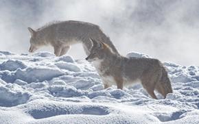 Картинка зима, взгляд, свет, снег, волк, пара, сугробы, волки, профиль, метель, снегопад, два, койот, койоты, два …