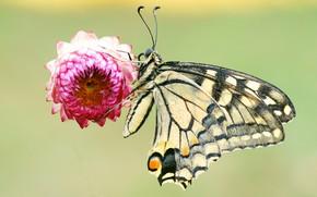 Картинка цветок, лето, капли, макро, фон, бабочка, насекомое, бессмертник, пестрая, гелихризум