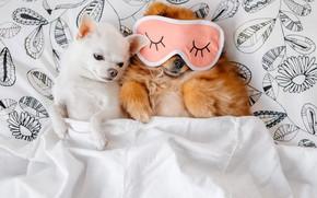 Картинка собаки, кровать, маска, одеяло, собачки, спят
