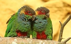Картинка птицы, Pyrrhura cruentata, Blue-throated Conure