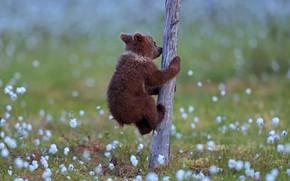 Картинка дерево, медвежонок, tree, Valtteri Mulkahainen, bear cub