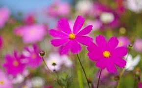 Картинка поле, лето, цветы, фон, поляна, яркие, лепестки, розовые, боке, космея, космеи