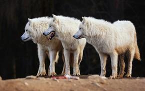 Картинка язык, белый, взгляд, морда, природа, поза, темный фон, волк, стая, лапы, поворот, три, волки, белые, …