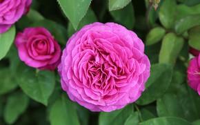 Картинка капли, розы, цветение, боке