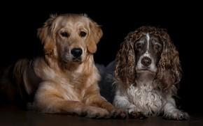 Картинка собаки, взгляд, морда, две, портрет, пара, черный фон, парочка, дуэт, друзья, лежат, спаниель, ретривер, две …