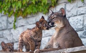 Картинка стена, малыш, ласка, дикие кошки, пума, детеныш, мама, зоопарк, привязанность, пумы, пуменок