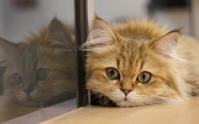 Картинка кошка, кот, взгляд, стекло, отражение, мордочка, котейка