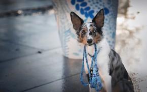 Картинка взгляд, морда, стакан, поза, фон, голубой, узор, улица, плитка, портрет, собака, поводок, тротуар, фотосессия, боке, …
