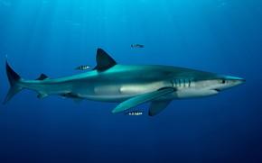 Картинка море, животные, вода, рыбки, рыбы, океан, рыба, акула, подводный мир, под водой, голубая, фауна, подводная …
