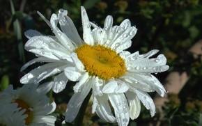 Картинка лето, капли, роса, дождь, ромашка