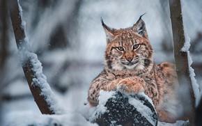 Картинка зима, взгляд, морда, снег, ветки, дерево, портрет, бревно, рысь, снегопад, рысенок, рысёнок