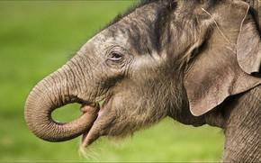Картинка слон, animals, portrait