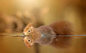 Картинка природа, отражение, белка