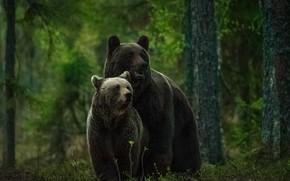 Картинка лес, медведи, медвежонок, медведица