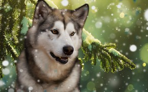 Картинка лес, фон, ель, собака, маламут
