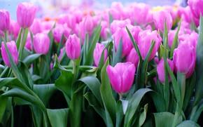 Картинка цветы, тюльпаны, розовые, pink, flowers, tulips