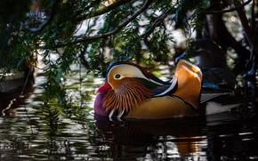 Картинка листья, вода, свет, ветки, блики, отражение, утки, рябь, утка, водоем, плавание, яркое оперение, мандаринка, под …