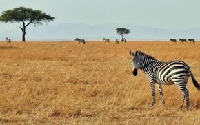 Картинка africa, zebra, serengeti