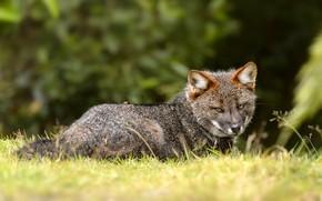 Картинка трава, взгляд, морда, поза, лиса, лежит, серая, зеленый фон, лисица, Дарвиновская лисица
