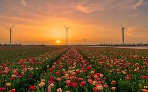 Картинка поле, небо, солнце, закат, цветы, рассвет, весна, тюльпаны, красные, ветряки, дымка, розовые, Нидерланды, ряды, плантация, …