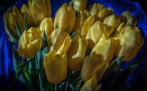 Картинка капли, цветы, букет, желтые, тюльпаны, бутоны, синий фон