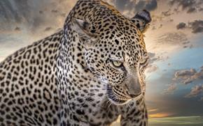 Картинка морда, фон, портрет, хищник, леопард, раскраска