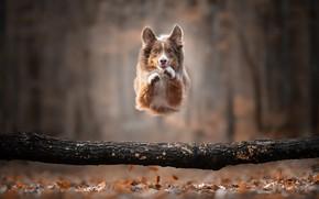 Картинка осень, прыжок, собака, бревно, боке, пёсик, Бордер-колли