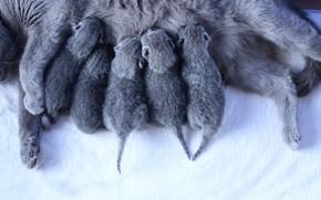 Картинка кошка, кошки, котята, малыши, мать, новорожденные, британские, выводок, младенцы, мышата, грудное вскармливание, кормящая