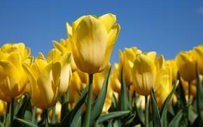 Картинка тюльпаны, бутоны, жёлтые
