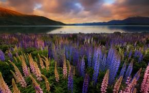 Картинка пейзаж, закат, цветы, горы, природа, озеро, Новая Зеландия, Текапо, люпины