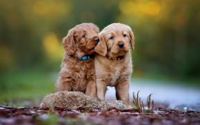 Картинка собаки, природа, фон, щенки, пара, щенок, парочка, лабрадор, коричневые, дуэт, боке, ретривер, сидят, две собаки, …
