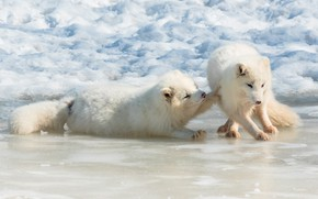Картинка зима, белый, снег, поза, игра, пара, два, песец, песцы
