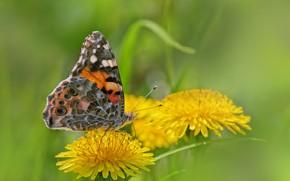 Картинка одуванчик, бабочка, крапивница