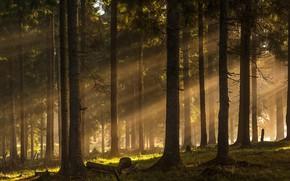 Картинка лес, лучи, деревья, forest, trees, rays, Ioan Ovidiu Lazar