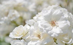 Картинка белый, розы, лепестки