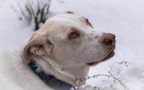 Картинка зима, взгляд, морда, снег, фон, портрет, собака