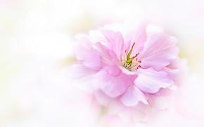 Картинка цветок, макро, розовый, размытие, весна, лепестки, светлый фон, цветение