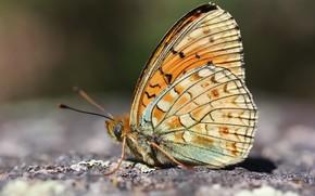 Картинка фон, бабочка, насекомое
