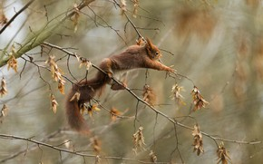 Картинка осень, листья, ветки, поза, лапки, белка