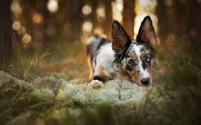 Картинка осень, лес, трава, взгляд, морда, деревья, природа, поза, парк, фон, стебли, мох, портрет, собака, лежит, …