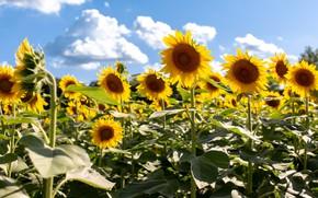 Картинка поле, лето, листья, облака, свет, подсолнухи, цветы, природа, стебли, желтые, белые, ярко, много, подсолнечник, голубое …